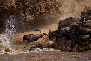 Eastern White bearded Wildebeest (Connochaetes taurinus) herd crossing the Mara River as part of annual migration, Masai Mara National Reserve, Kenya, August - Anup Shah