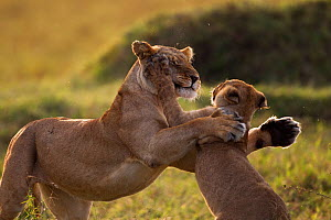 Lioness (Panthera leo) playing with a cub aged 9-12 months, Masai Mara National Reserve, Kenya, August - Anup Shah