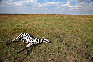Common or Plains zebra (Equus quagga burchellii) lying dead on the savanna grassland, Masai Mara National Reserve, Kenya, March  -  Anup Shah