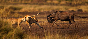 Eastern White bearded Wildebeest (Connochaetes taurinus) fighting back against attacking African lions (Panthera leo) Masai Mara National Reserve, Kenya, September, sequence 12/12 - Anup Shah