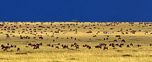 Eastern White bearded Wildebeest (Connochaetes taurinus) herd feeding on the grass plains of Masai Mara National Reserve, Kenya, September  -  Anup Shah