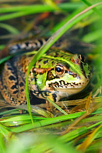 Marsh Frog (Rana ridibunda). Bexington, Dorset, UK, May.  -  Colin Varndell