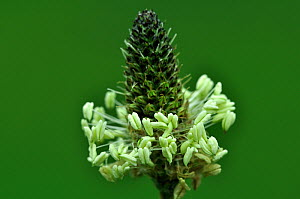 Flower head and stamens of Ribwort Plantain (Plantago lanceolata). Dorset, UK, May.  -  Colin Varndell