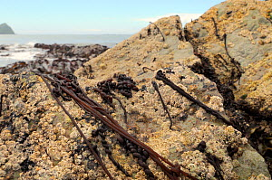 Batters / Sea noodle (Nemalion helminthoides) seaweed growing on rocks encrusted with Common barnacles / Northern rock barnacles (Semibalanus balanoides) and Black-footed limpets (Patella depressa) lo...  -  Nick Upton