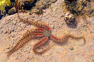 Common brittle star (Ophiothrix fragilis) moving over floor of rockpool encrusted with red algae past Common periwinkles (Littorina littorea) and Flat / Purple Top shell (Gibbula umbilicalis) low on a...  -  Nick Upton