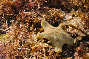 Cushion star (Asterina gibbosa) on the move over submerged rocks low on the shore among a mix of red algae including Coralweed (Corallina officinalis) and Sea horsetail (Halurus equisetifolus) submerg...  -  Nick Upton