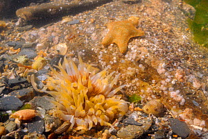 Dahlia anemone (Urticina felina) with yellow striped tentacles and Cushion star (Asterina gibbosa) in a rockpool low on the shore near Falmouth, Cornwall, UK, August.  -  Nick Upton