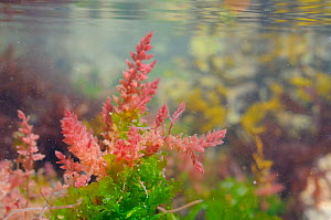 Gametophyte of Harpoon weed (Asparagopsis armata), an invasive red alga attached with barbed branchlets to Sea lettuce (Ulva lactuca) in a rockpool low on the shore, near Falmouth, Cornwall, UK, Augus...  -  Nick Upton