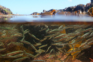 Split level view of a shoal of Atlantic herring fry (Clupea harengus) swimming in a rockpool past kelp fronds (Laminaria sp.), near Falmouth, Cornwall, UK, August.  -  Nick Upton