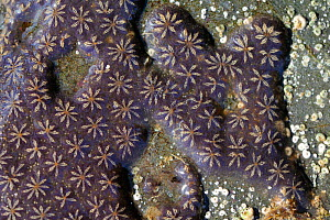 Star ascidian colony (Botryllus schlosseri) growing on rock exposed on a low spring tide, near Falmouth, Cornwall, UK, August.  -  Nick Upton