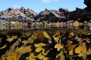 Split level view of Toothed / Serrated wrack (Fucus serratus) clumps at mid tide, near Falmouth, Cornwall, UK, August. - Nick Upton