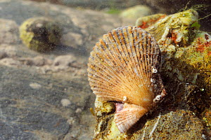 Variegated scallop (Chlamys varia) attached to a boulder in a rockpool low on the shore, with a Common limpet (Patella vulgata) in the background, near Falmouth, Cornwall, UK, August.  -  Nick Upton