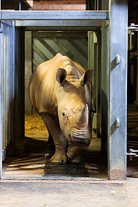 White rhino (Ceratotherium simum) at Colchester Zoo is trained to walk over a mat with 4,000 sensors to collect data for a special research project on rhino feet by Royal Veterinary College Professor... - Ann & Steve Toon