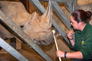 White rhino (Ceratotherium simum) undergoing target traing with Jo Roe of Colchester Zoo, for a special research project on rhino feet by Royal Veterinary College Professor John Hutchinson, May 2012.... - Ann & Steve Toon