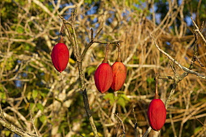 Kapok Tree (Ceiba pentandra) fruit, its fiber is eight times lighter than cotton and several times more buoyant than cork, extremely insulating as well as being odorless, non-allergic and non-toxic, A...  -  Doc White