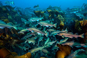 A shoal of cod (Gadus morhua) in kelp forest. These cod were gathered off the north coast of Iceland to spawn, photographed during a two week break in fishing season, to allow the fish to spawn. Thors... - Alex Mustard
