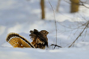 Ruffed grouse (Bonasa umbellus) in winter snow, Quebec, Canada, March  -  Loic Poidevin