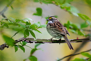 Chipping sparrow (Spizella passerina) Quebec, Canada, October  -  Loic Poidevin