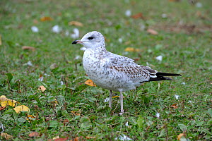 Ring-billed gull (Larus delawarensis) Quebec,  Canada, May - Loic Poidevin