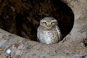 Spotted owlet (Athene brama) sitting in tree, India, March  -  Loic Poidevin