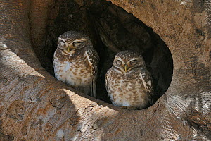 Spotted owlets (Athene brama) two sitting in tree nest, Kanha National Park, Madhya Pradesh, India, March  -  Loic Poidevin