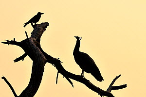 Common peafowl (Pavo cristatus) silhouetted at dawn, with House crow, Keoladeo Ghana National Park, Bharatpur, Rajasthan, India, March - Loic Poidevin