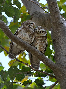Spotted owlets (Athene brama) two huddled in tree, Keoladeo Ghana National Park, Bharatpur, Rajasthan, India, March  -  Loic Poidevin