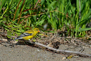American goldfinch (Carduelis tristis) Pointe Pelee,  Ontario, Canada, May  -  Loic Poidevin