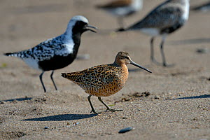 Short billed dowitcher (Limnodromus griseus) and Grey plover (Pluvialis squatarola) on beach at Pointe Pelee, Ontario, Canada, May - Loic Poidevin
