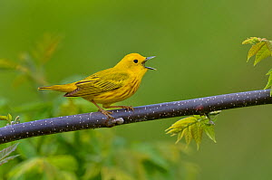 Yellow warbler (Dendroica petechia) male singing, Pointe Pelee, Ontario, Canada, May  -  Loic Poidevin