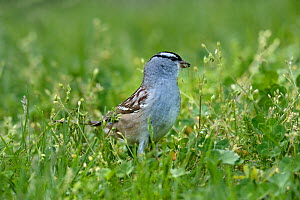 White crowned sparrow (Zonotrichia leucophtys) Pointe Pelee, Ontario, Canada, May  -  Loic Poidevin