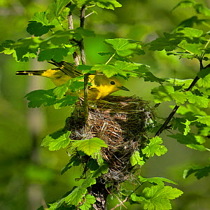 Yellow warbler (Dendroica petechia) at nest, Pointe Pelee, Ontario, Canada, May  -  Loic Poidevin