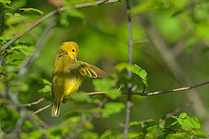 Yellow warbler (Dendroica petechia) preening, Pointe Pelee, Ontario, Canada, May  -  Loic Poidevin