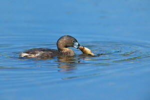 Pied-billed grebe (Podilymbus podiceps) with fish in beak, Quebec, Canada, May  -  Loic Poidevin