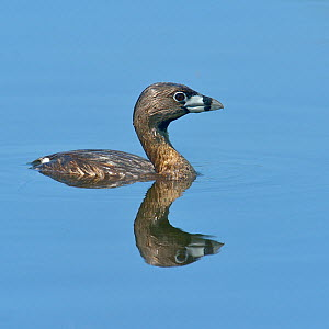 Pied-billed grebe (Podilymbus podiceps) profile portrait on water with reflection, Quebec, Canada, May  -  Loic Poidevin