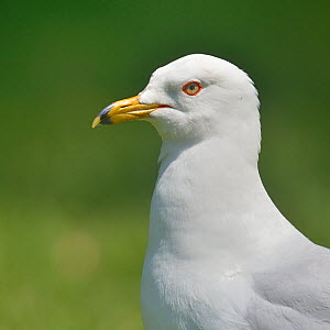 Ring-billed gull (Larus delawarensis) profile portrait, Quebec, Canada, May - Loic Poidevin