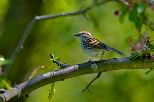 Chipping sparrow (Spizella passerina) Quebec, Canada, May - Loic Poidevin