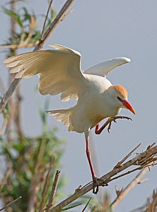 Cattle egret (Bubulcus ibis) in full breeding plumage balancing on a bamboo cane as it walks along it Guerreiro, Castro Verde, Alentejo, Portugal, May  -  Roger Powell