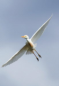 Cattle egret (Bubulcus ibis) in flight, Guerreiro, Castro Verde, Alentejo, Portugal, May - Roger Powell