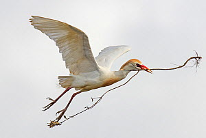 Cattle egret (Bubulcus ibis) in flight carrying a large stick to its nest, Guerreiro, Castro Verde, Alentejo, Portugal, May - Roger Powell