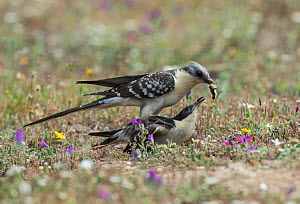 Great spotted cuckoo (Clamator glandarius) male offering a large grub to a female prior to copulation, Guerreiro, Castro Verde, Alentejo, Portugal, January  -  Roger Powell
