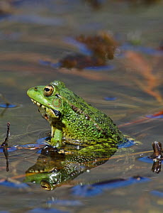 Marsh Frog (Rana ridibunda) calling in breeding pond, Guerreiro, Castro Verde, Alentejo, Portugal, May  -  Roger Powell