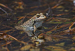 Marsh frog (Rana ridibunda) in breeding pond, Guerreiro, Castro Verde, Alentejo, Portugal, May  -  Roger Powell