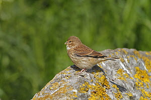 Linnet (Carduelis cannabina) juvenile perched on rock waiting to be fed, Cheshire UK June - Alan Williams