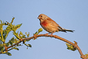 Linnet (Carduelis cannabina) male perched above hedge in early morning sun, Cheshire UK June - Alan Williams