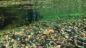 A group of four Arctic charr (Salvelinus alpinus) swimming mid river in the distance towards photographer Linda Pitkin kneeling in the river photographing on assignment for 2020vision, River Lisa, Enn...  -  Andy  Jackson / 2020VISION