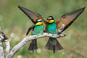 European Bee-eater (Merops apiaster) with a bee landing on a branch by its mate.  Alentejo, Portugal, May.  -  Roger Powell