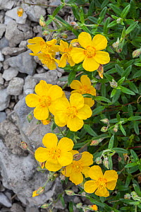 Common Rock Rose (Helianthemum nummularium) growing on steep slope amongst limestone outcrop. Lathkill Dale National Nature Reserve, Peak District National Park, UK. June.  -  Alex Hyde