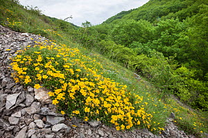 Common Rock Rose (Helianthemum nummularium)growing on steep slope amongst limestone outcrop. Lathkill Dale NNR, Peak District National Park, UK. June.  -  Alex Hyde