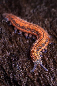 Velvet Worm (Peripatus novaezealandiae). Velvet Worms are known as 'living fossils', having remained the same for approximately 570 million years captive from New Zealand - Alex Hyde